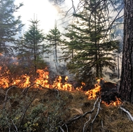 A backfire backs downhill thinning small trees and burning forest litter at SCE's Shaver Lake forest.