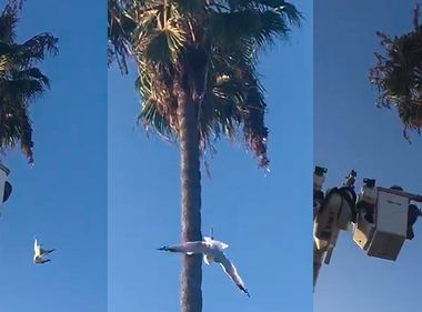 Long Beach SCE Crew Swoops in to Rescue Entangled Seagull