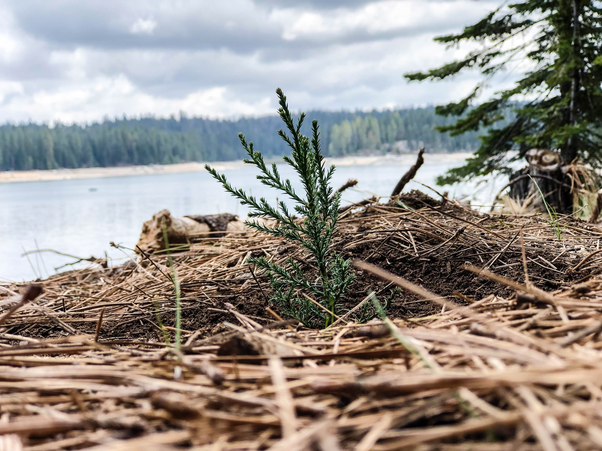 A newly-planted giant sequoia seedling at SCE's forest in Shaver Lake.