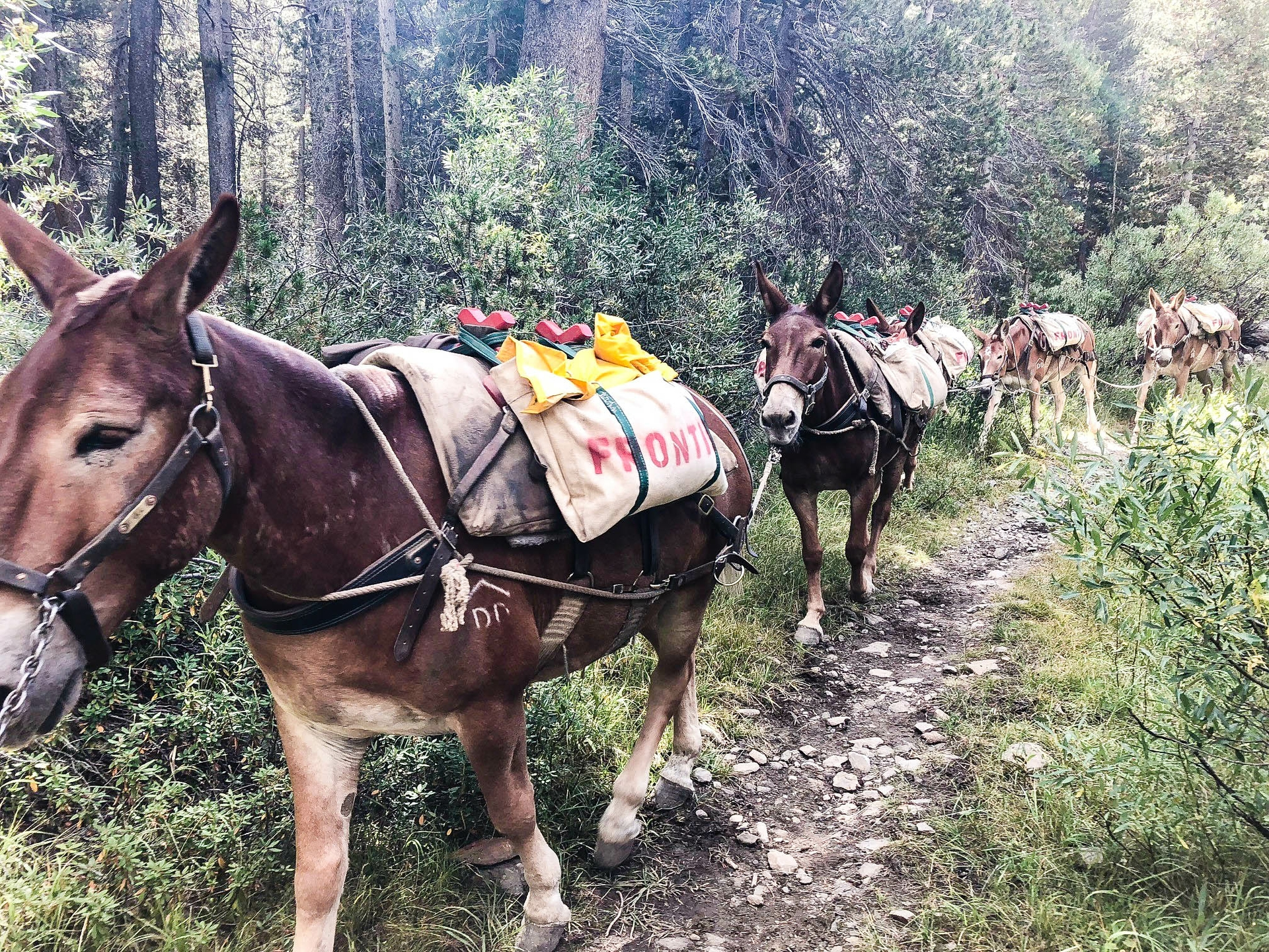 Mules from Frontier Pack Train helped transport SCE equipment and materials for dam work in the Ansel Adams Wilderness.