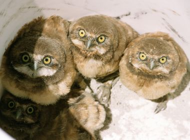 Effort to Save Burrowing Owls Goes Underground in Chino
