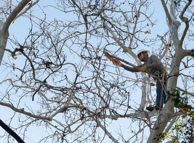 SCE Tree Trimming a Critical Year-Round Job