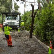 An SCE contract worker pulls on a rope to hold a tree branch safely in place.