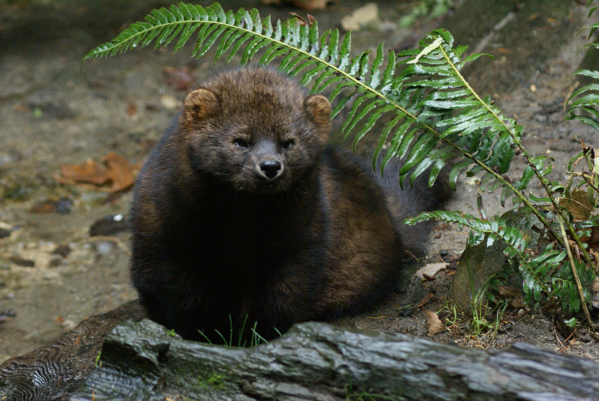 The Pacific fisher in the Sierra Nevada is on the endangered species list partly due to the loss of their habitat from wildfires.