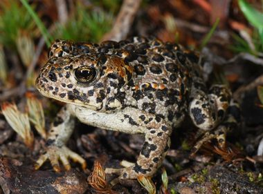 Protecting the Sierra Nevada's Yosemite Toad