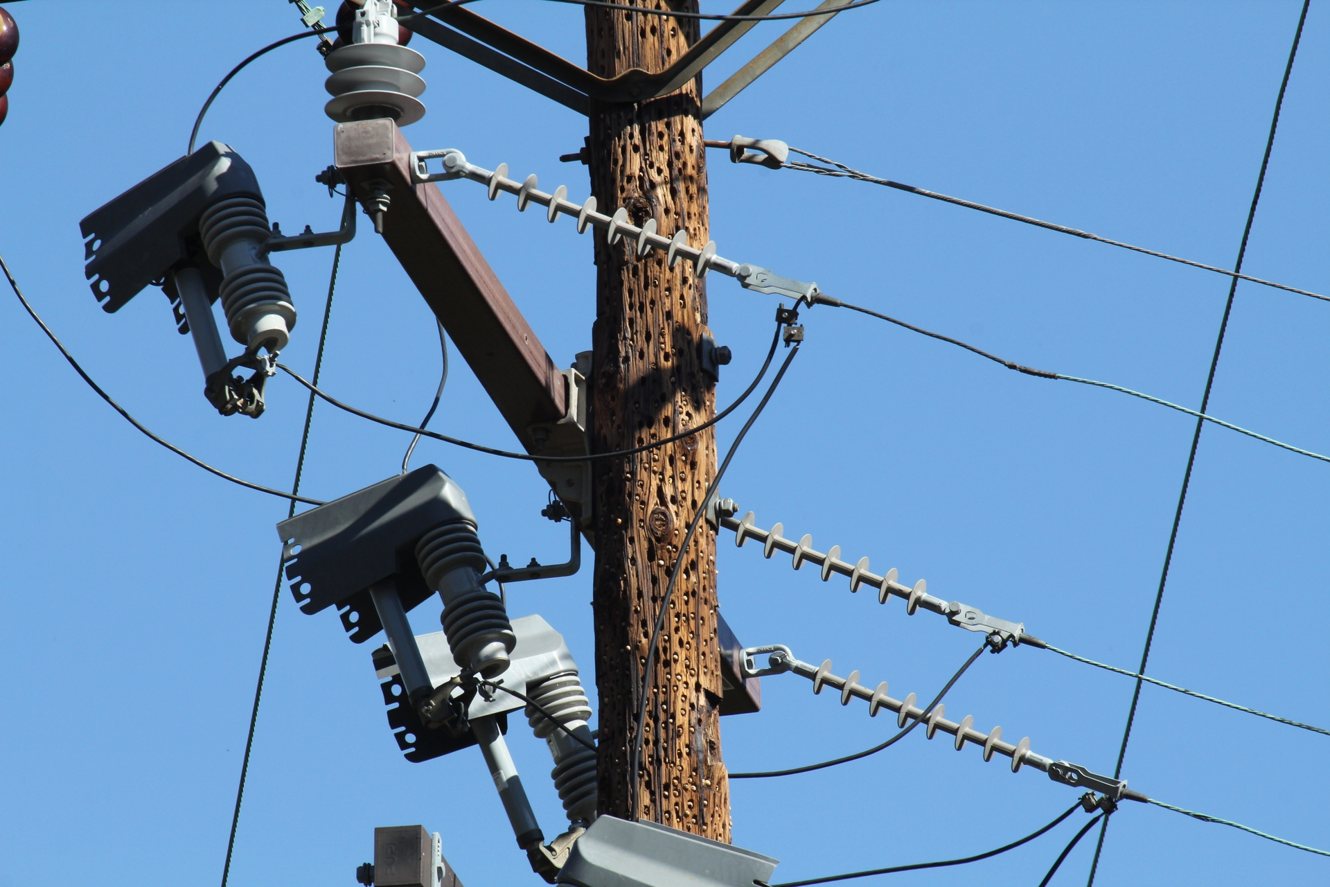 The collective drumming of an acorn woodpecker colony can cause quite a lot of damage to wooden utility poles.