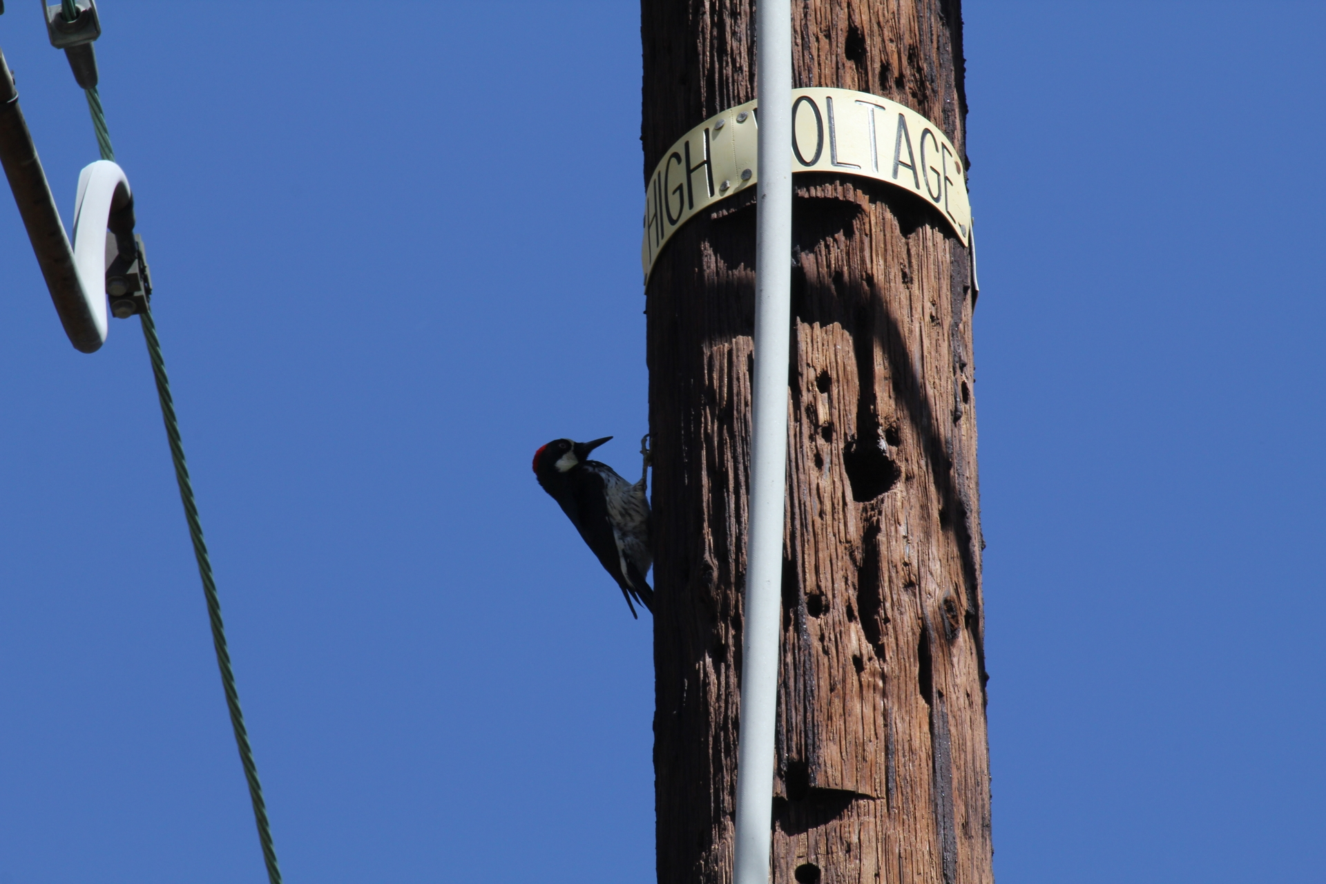 SCE's wooden poles are sometimes used as a home, breeding ground and even food storage facility for the California native acorn woodpecker.