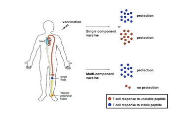 Study Reveals Current Multi-Component Vaccines May Need Reworking