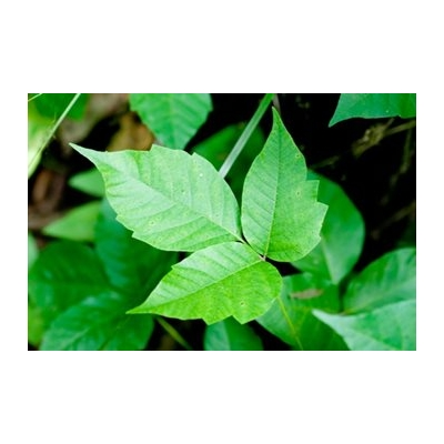 Poison Ivy: Prevention Takes Priority