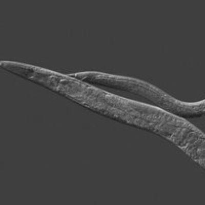 c-elegans-002
