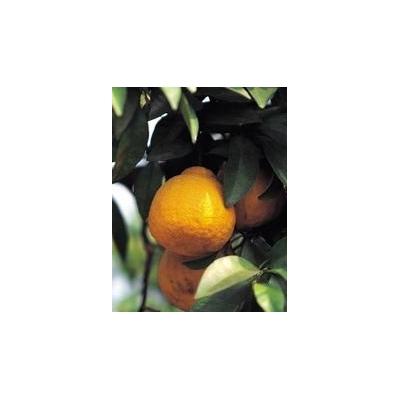 Citrus%20Tree_2610_175x225