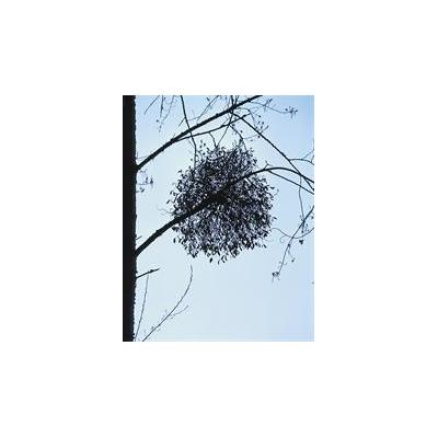 Mistletoe_3286_517x665