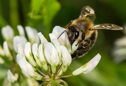 honey bee in a flower