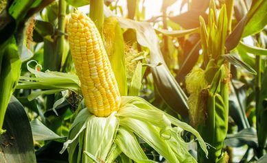 ckblg-local-sweet-corn