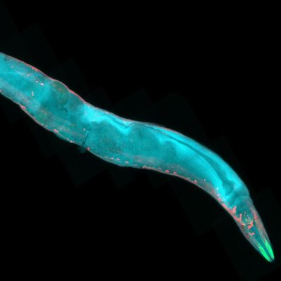 Appetite for survival: Brain signal alerts roundworms to changing food supply