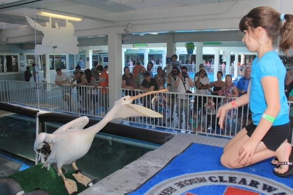 Clearwater_pelican feeding