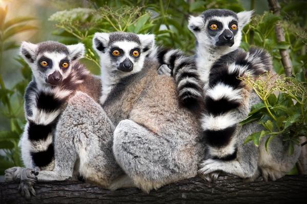 FloridaAquarium_Lemurs