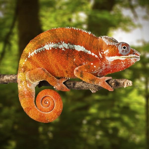 FloridaAquarium_Chameleon