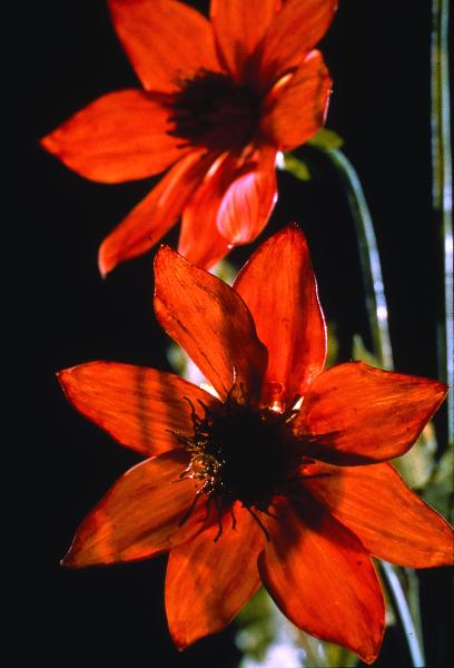 HarvardMuseumofNaturalScience-dahliaglassflowers