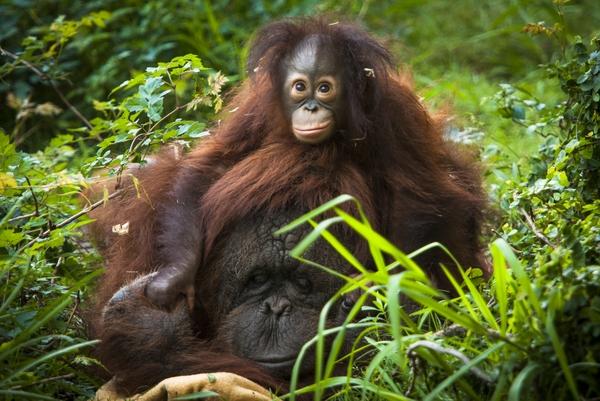 Orangutan-0136-6999