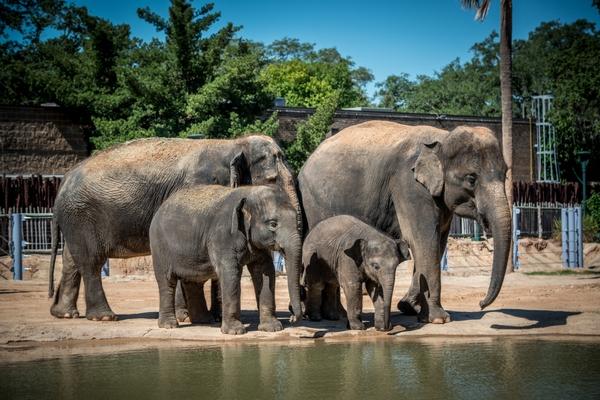Asian_Elephant-0478-0652