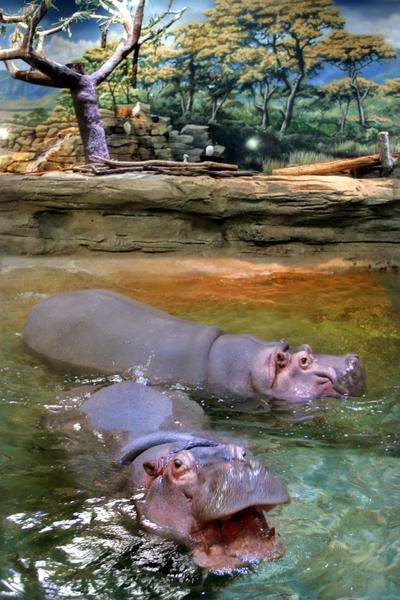 AdventureAquarium_hippos2