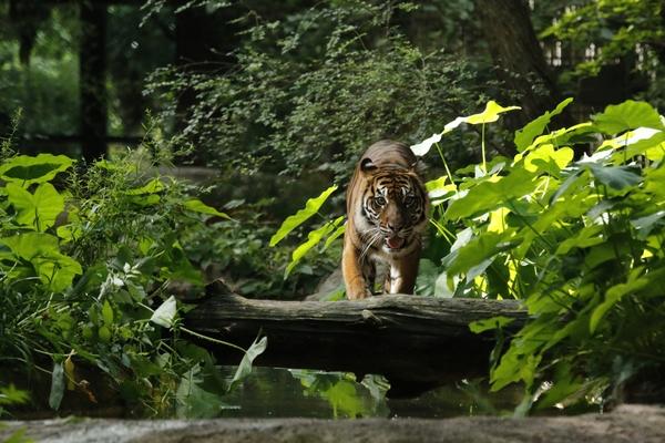 _MG_8406-female tiger - 4x6