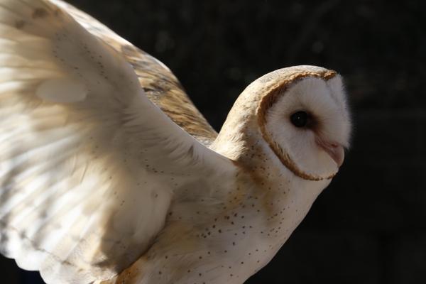 _MG_4480-Barn owl