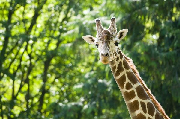 WoodlandParkZoo_giraffe
