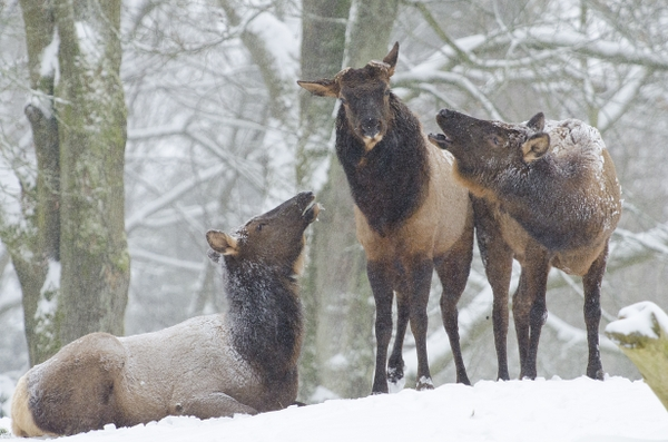 Elk in snow_Ryan Hawk