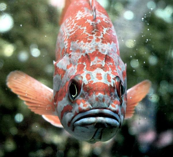 SeattleAquarium_rock fish