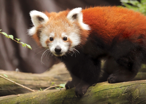 PhiladelphiaZoo_Red Panda
