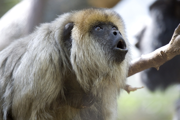 howler_monkey_4965dp