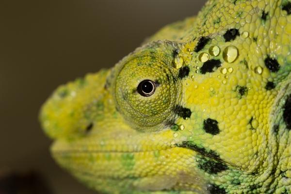 meller'schameleon_ZA_2752