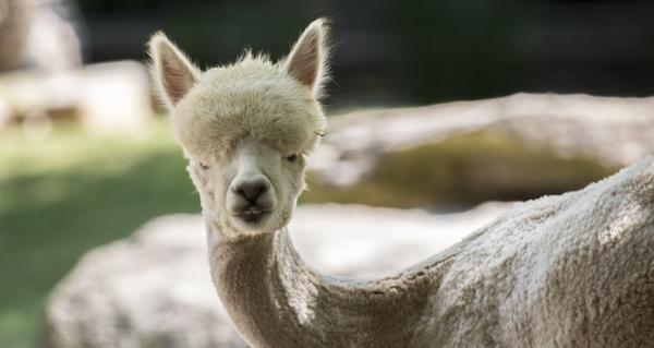 Alpaca_ZA_5353
