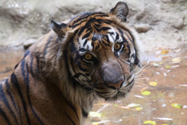 tiger_sparky_ZA_0154