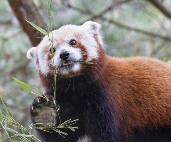 Red Panda Dennis Dow Woodland Park Zoo