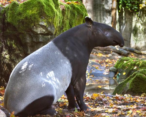 Malayan Tapir Dennis Dow Woodland Park Zoo