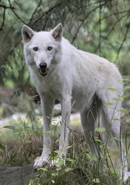 Gray Wolf Dennis Dow