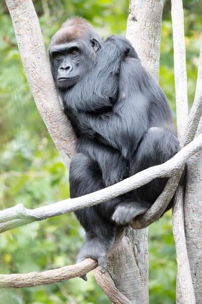 Gorilla Uzumma Jeremy Dwyer-Lindgren Woodland Park Zoo