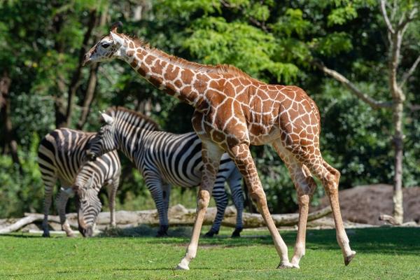 Giraffe John Loughlin Woodland Park Zoo