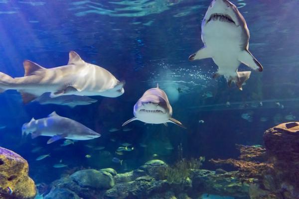 5_Sharks_FULL