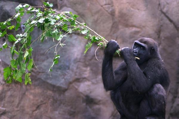 Gorilla with Browse_Christina Demetrio