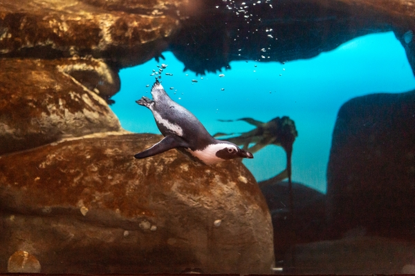 Penguin_2020_1L0A3061_Gayle Laird  California Academy of Sciences