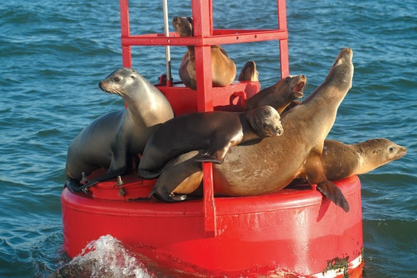 SD_Animals_naturalists-pictures-23_SeaLions_Credit_SDNHM