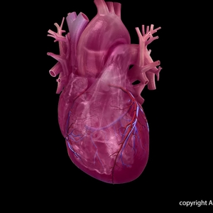Coronary Vessels (transparency) animation