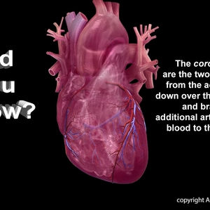 Coronary Artery Infographic