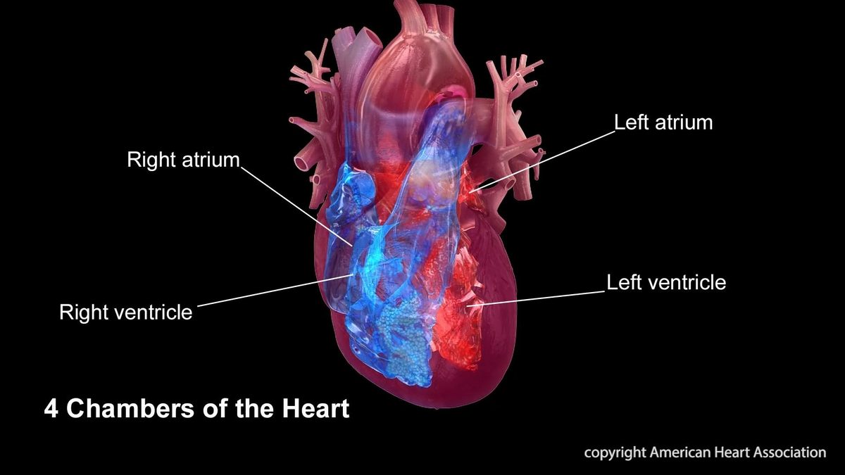 Heart chambers infographic