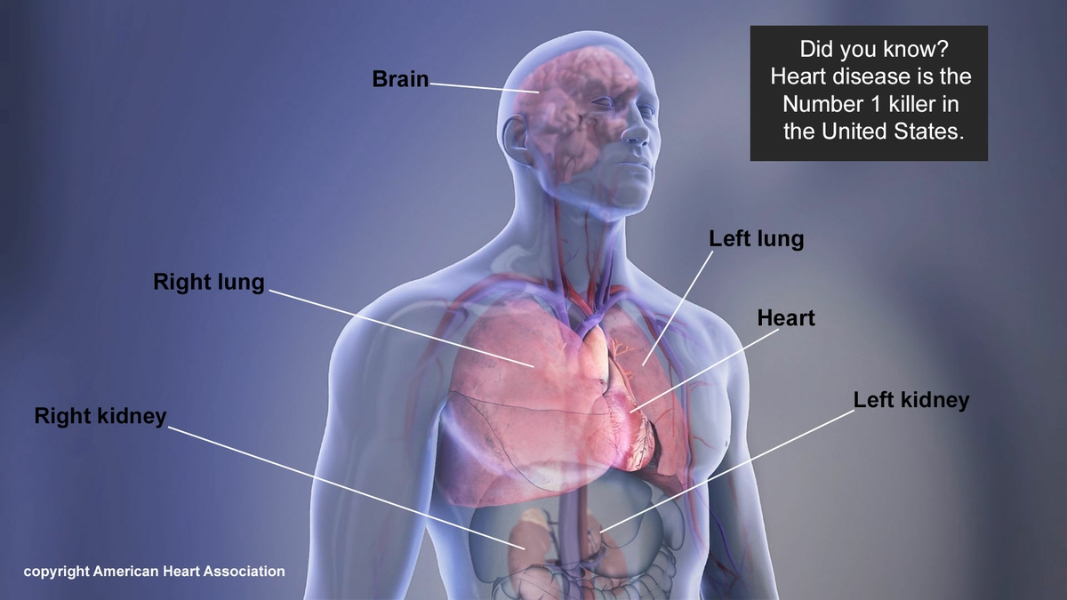 Organs in the body Infographic