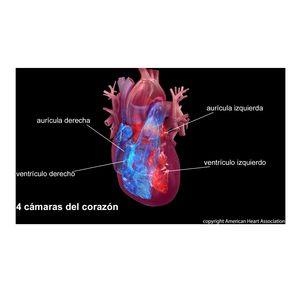 Heart chambers - Spanish